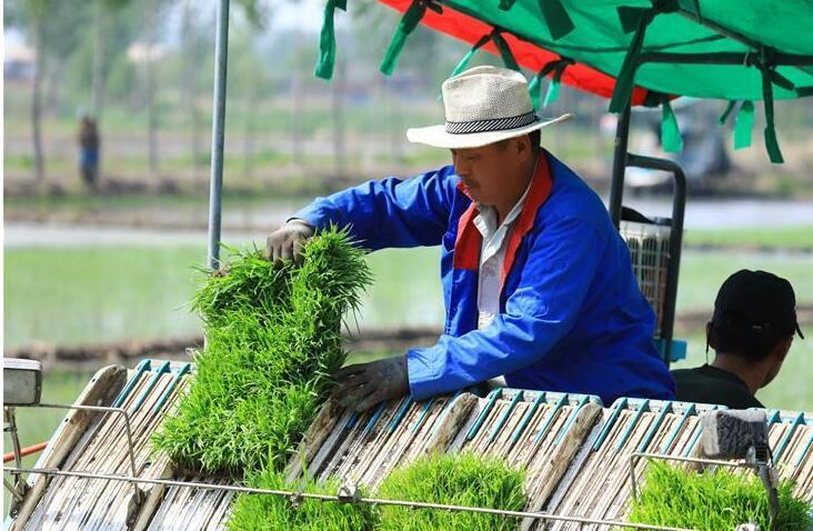 河北唐山:曹妃甸农场水稻插秧忙