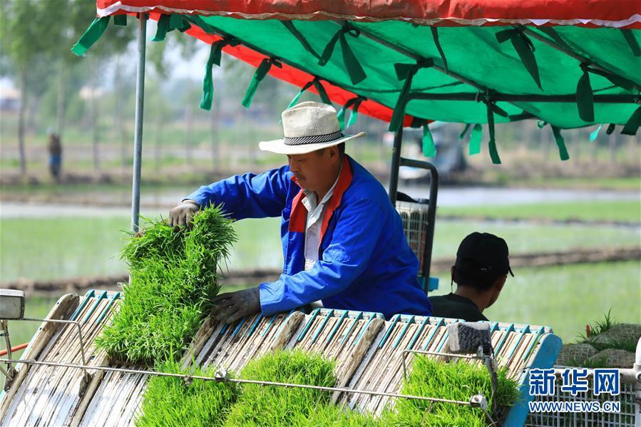 #(经济)(1)河北唐山:曹妃甸农场水稻插秧忙