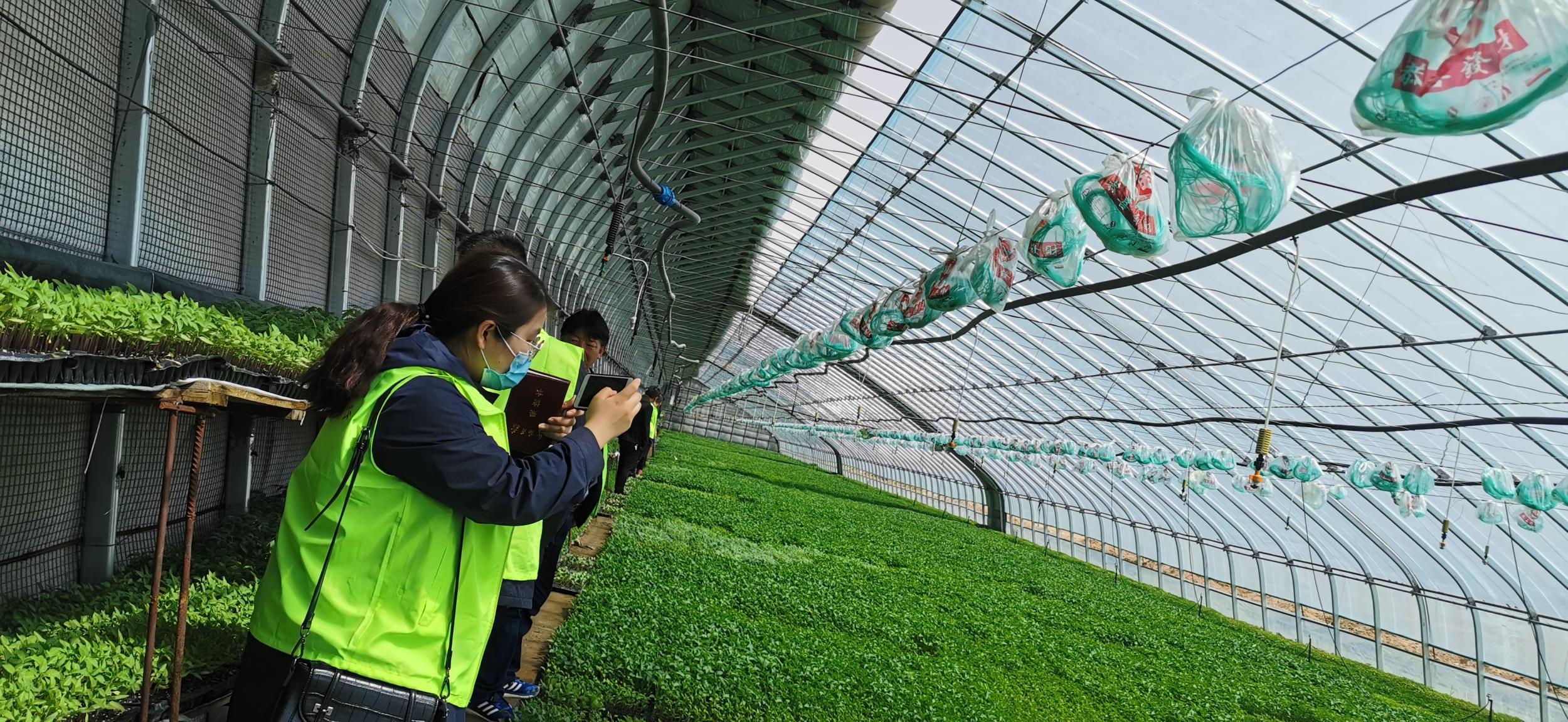 """金川区着力抓好粤港澳大湾区""""菜篮子""""基地建设推动全区蔬菜产业高质量发展"""