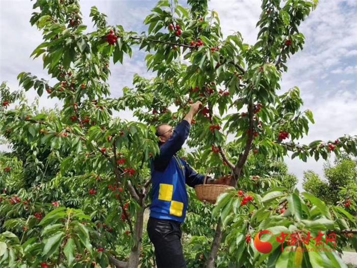 又到樱桃上市季 天水市拼鲜销售促农增收