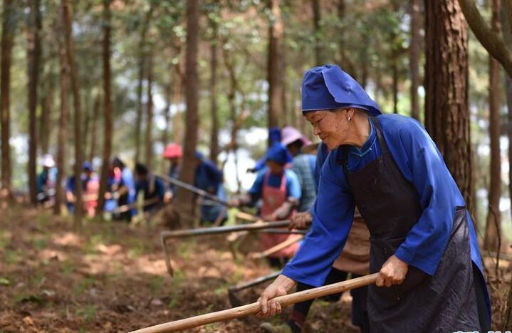 贵州丹寨:利用山林闲地助农增收致富