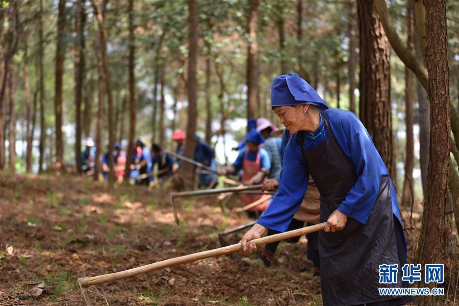 #(脱贫攻坚)(1)贵州丹寨:利用山林闲地助农增收致富