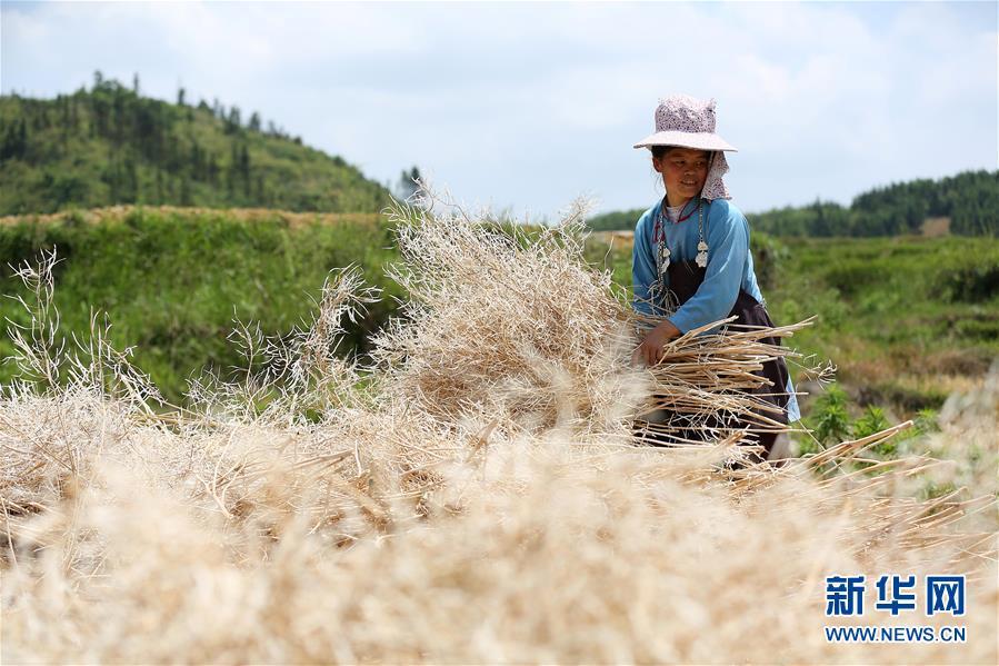 #(脱贫攻坚)(2)贵州丹寨:利用山林闲地助农增收致富