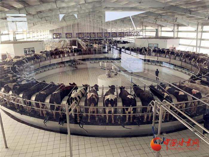 【甘肃省决战决胜脱贫攻坚】甘黔携手 1万头奶牛养殖基地在张掖顺利投产