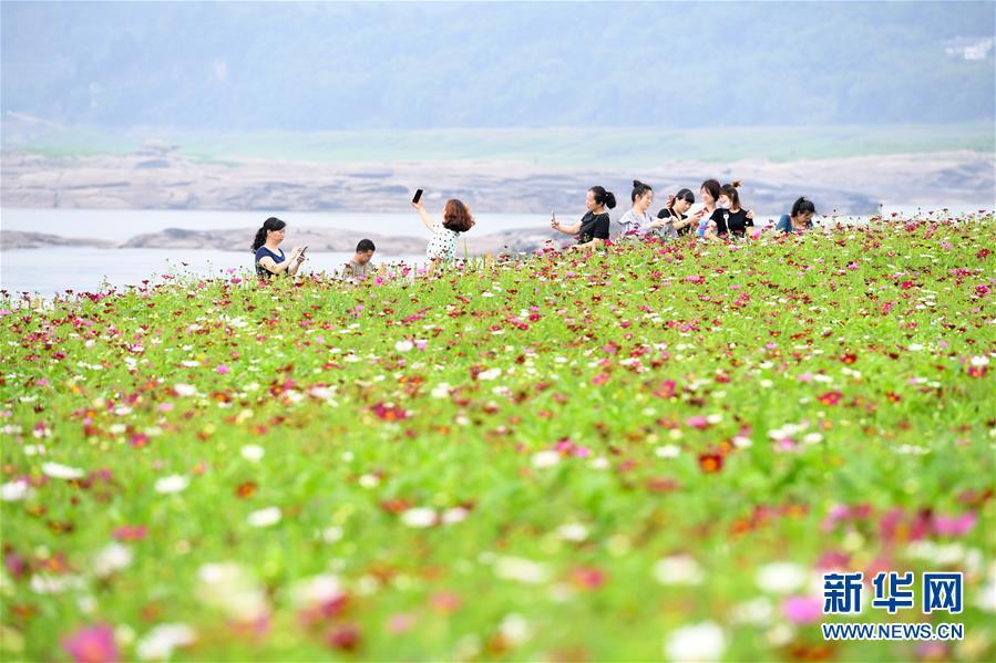 (春季美丽生态)(2)重庆:格桑花开长江畔