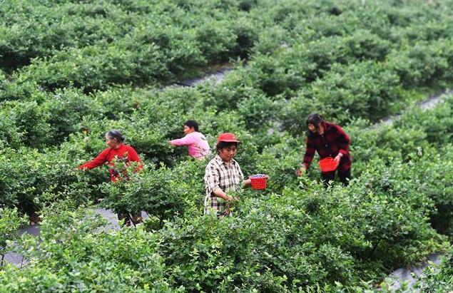 蓝莓产业助农增收