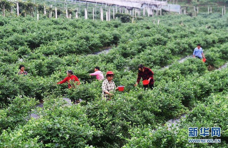 (社会)(2)蓝莓产业助农增收