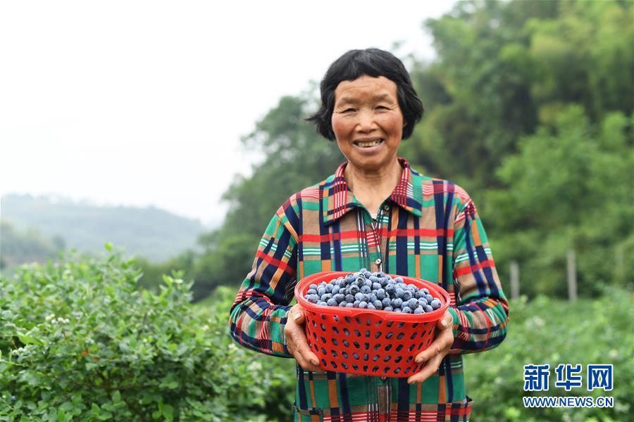 (社会)(3)蓝莓产业助农增收