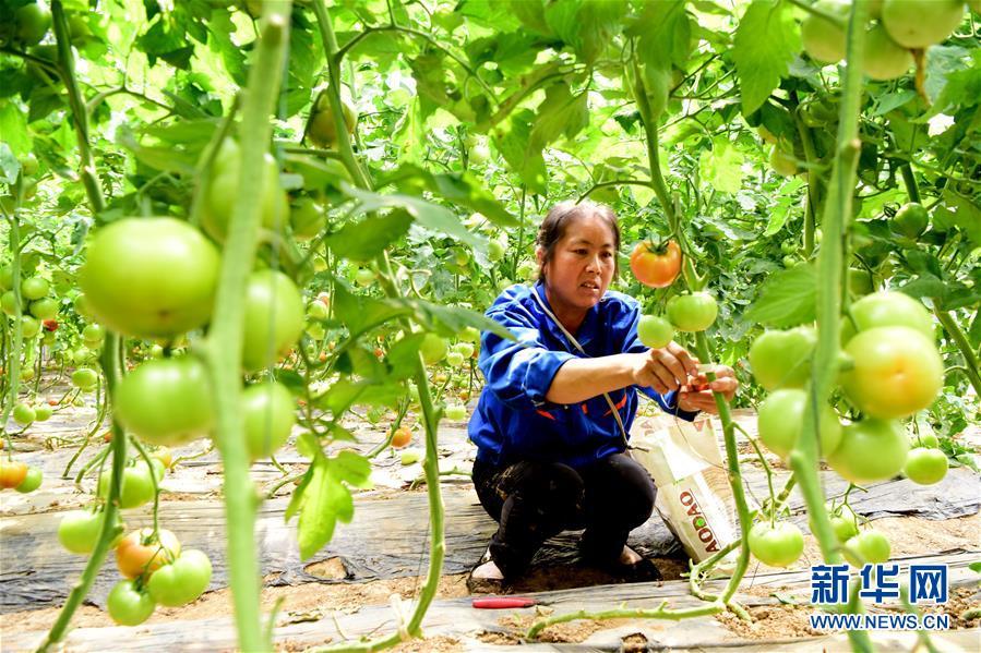(脱贫攻坚)(1)河南汝南:带贫模式为民增收