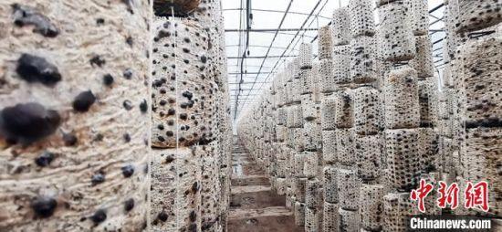 图为漳县食用菌产业园菌棒。 魏建军 摄