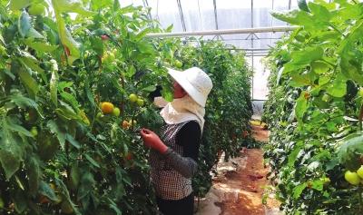 """兰州红古花庄镇建设第六代""""寿光模式""""蔬菜大棚"""