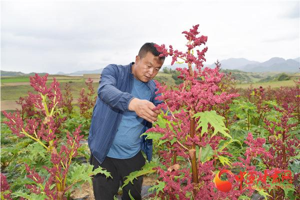 定西渭源会川镇:大黄种出产业发展新路子