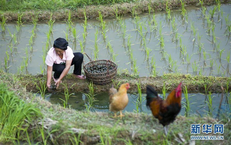 (脱贫攻坚)(4)贵州从江:播下种螺助增收