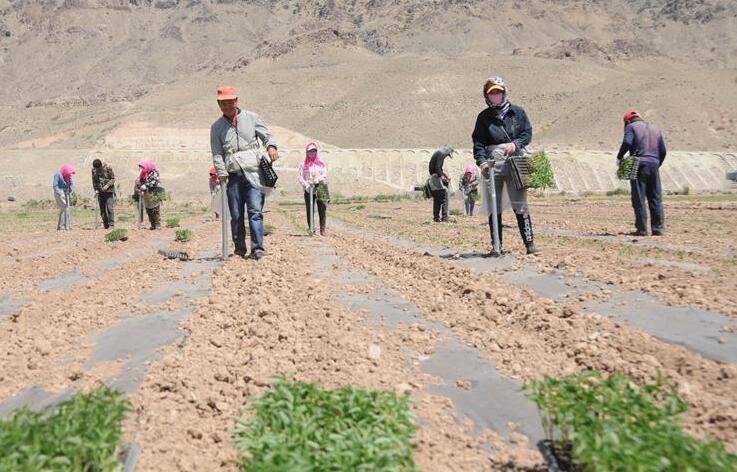 巴彦淖尔:高效农业促增收