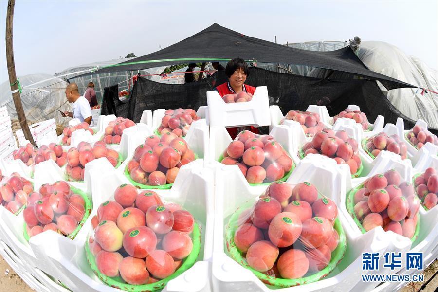 (经济)(1)河北乐亭:鲜桃映红丰收季