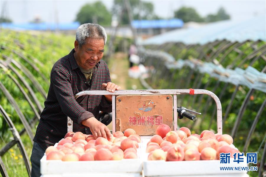 (经济)(2)河北乐亭:鲜桃映红丰收季