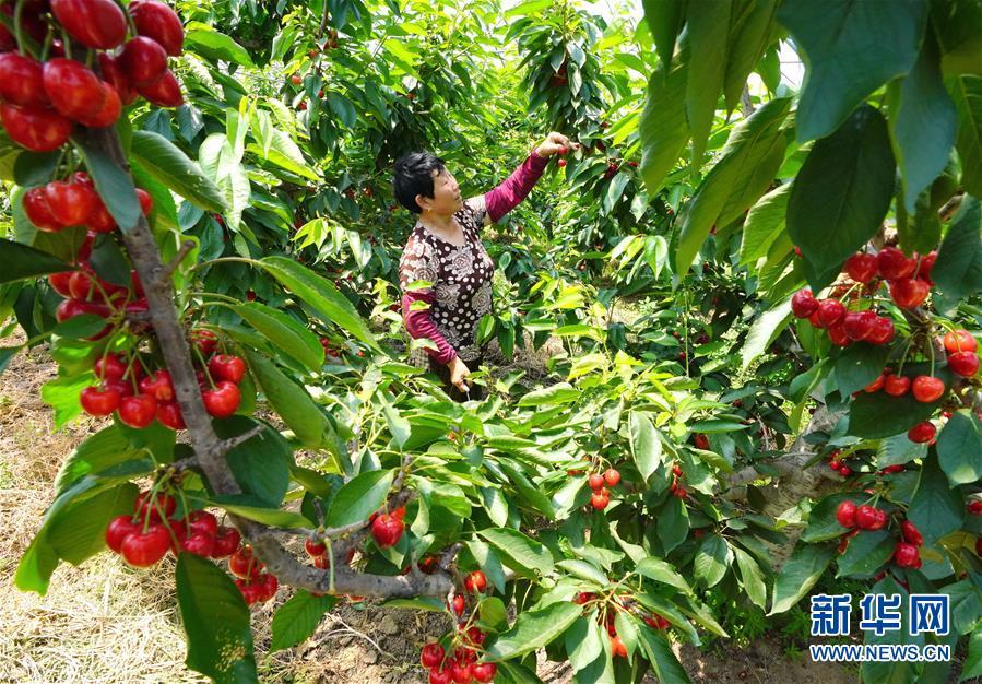 (经济)(2)河北滦南:果农喜收大樱桃