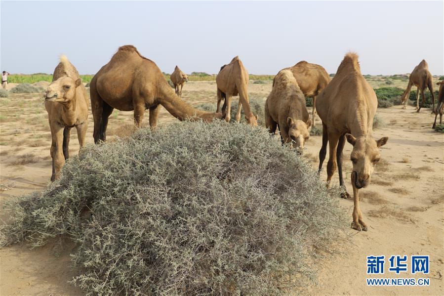 (国际)(2)也门:放牧骆驼