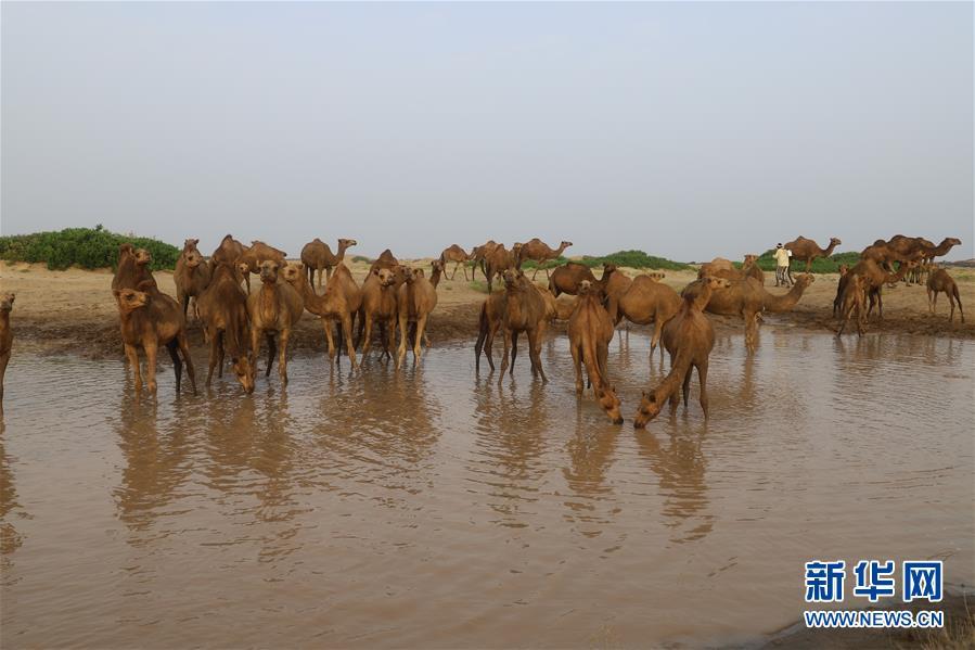 (国际)(3)也门:放牧骆驼