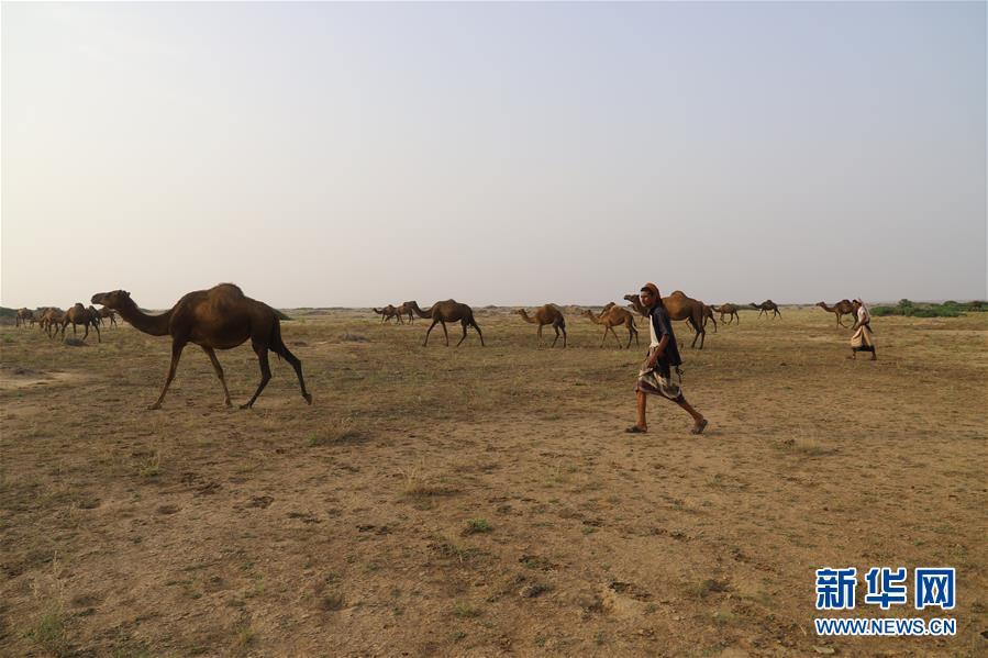 (国际)(4)也门:放牧骆驼