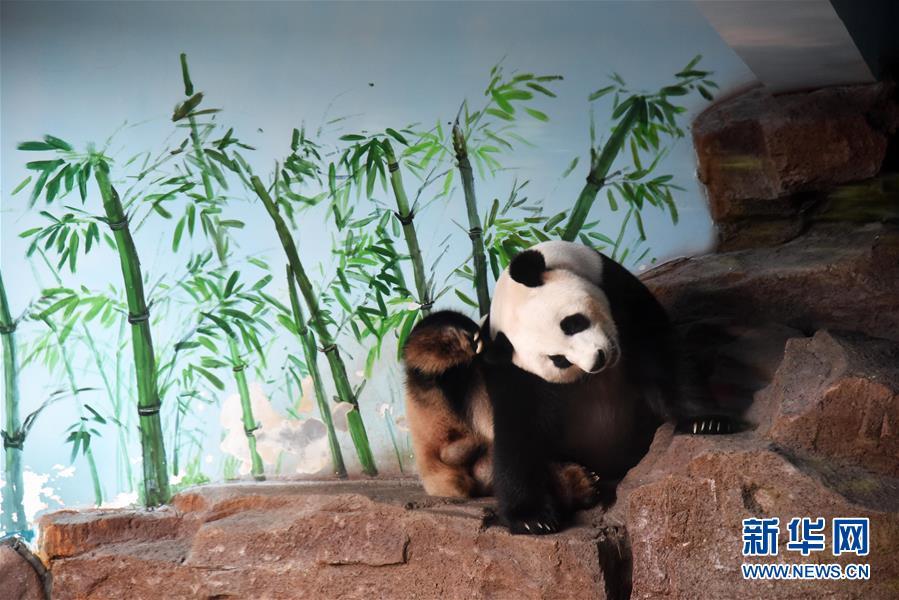 (社会)(4)济南:大熊猫享清凉
