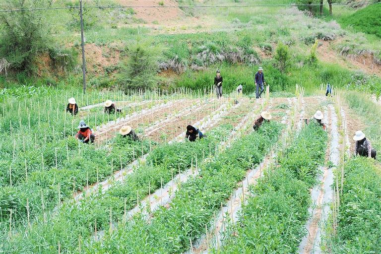 临夏州东乡县今年种植的1700亩金银花长势良好