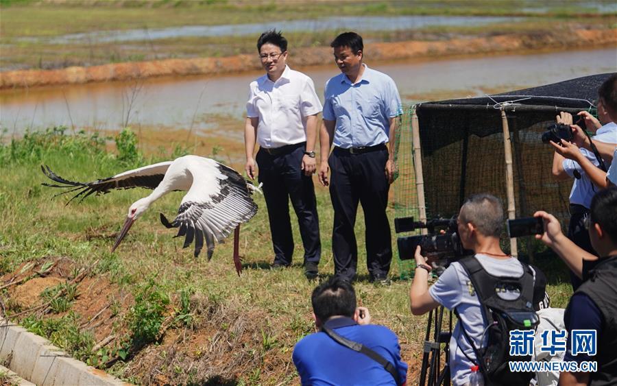 (环境)(1)三只东方白鹳鄱阳湖畔放归自然