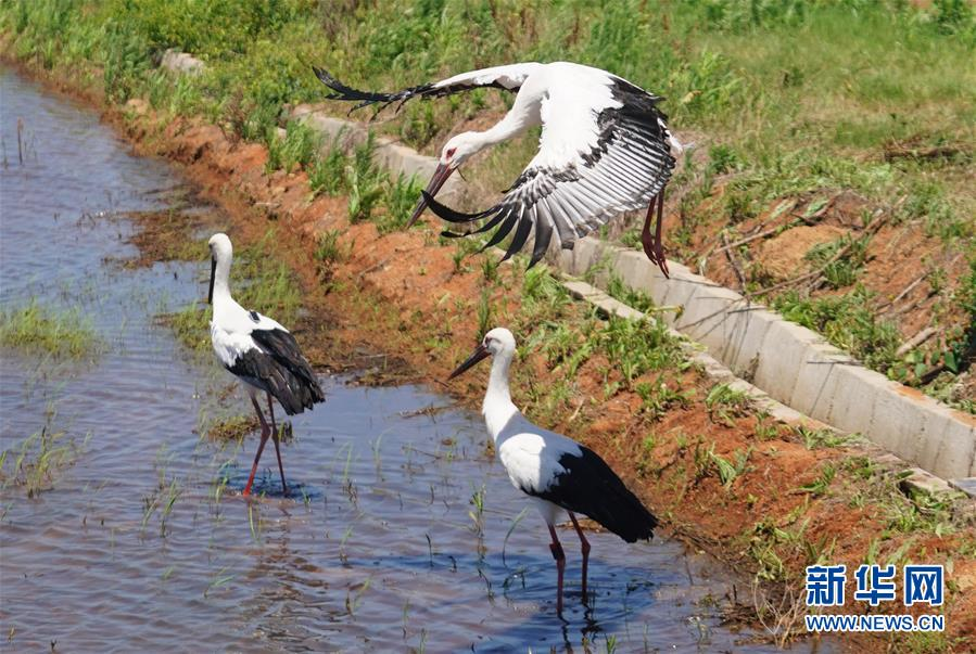 (环境)(4)三只东方白鹳鄱阳湖畔放归自然