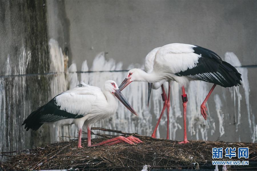 (环境)(5)三只东方白鹳鄱阳湖畔放归自然
