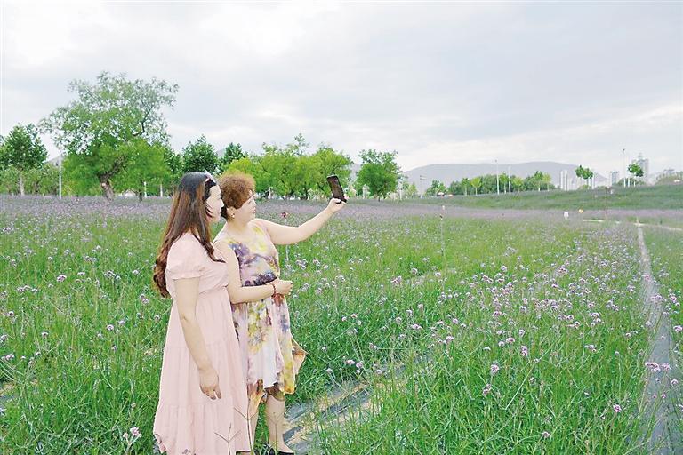 临夏州永靖县刘家峡镇南滨河路大片马鞭草陆续盛开
