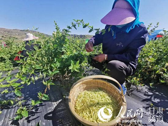 李家店乡村民在采摘金银花。(通渭县委宣传部供图)