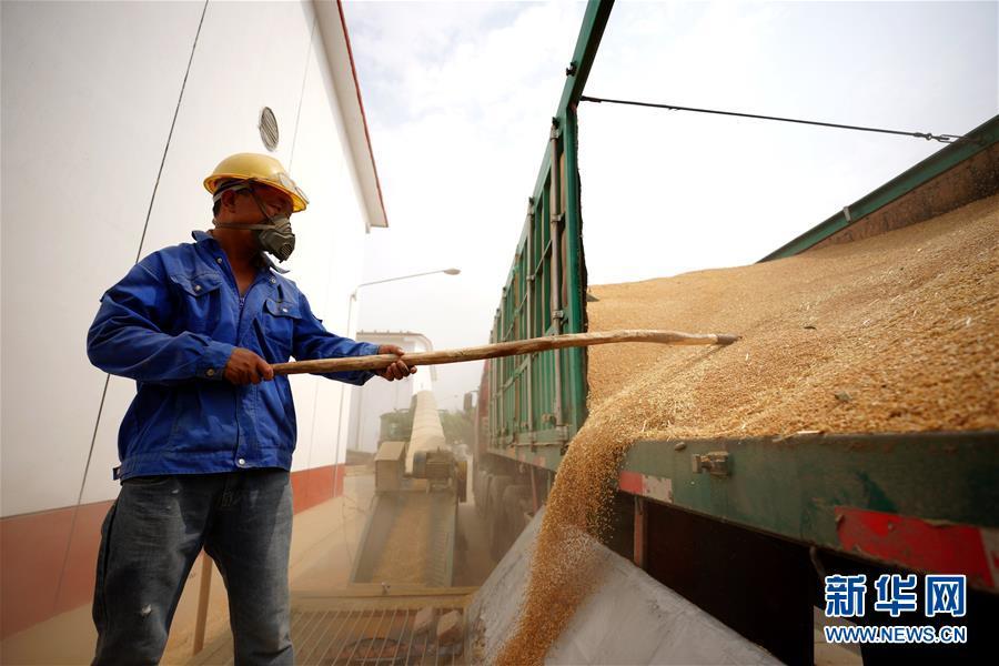 (经济)(2)河北柏乡:粮食收储忙