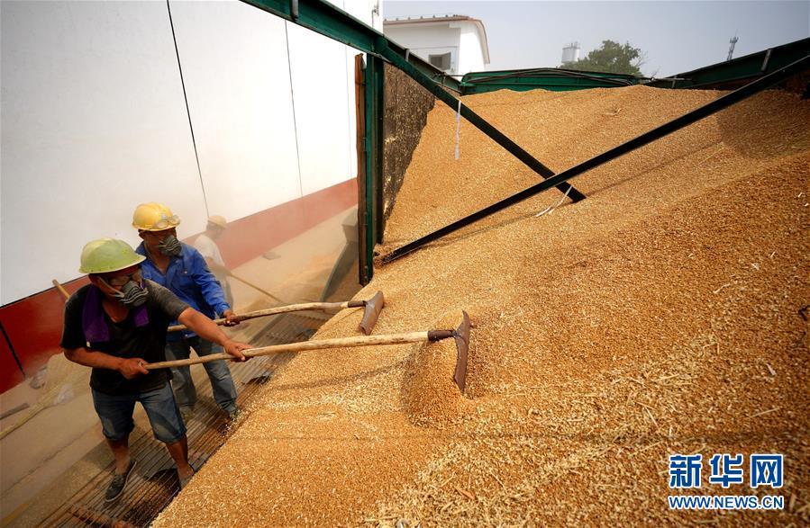(经济)(3)河北柏乡:粮食收储忙
