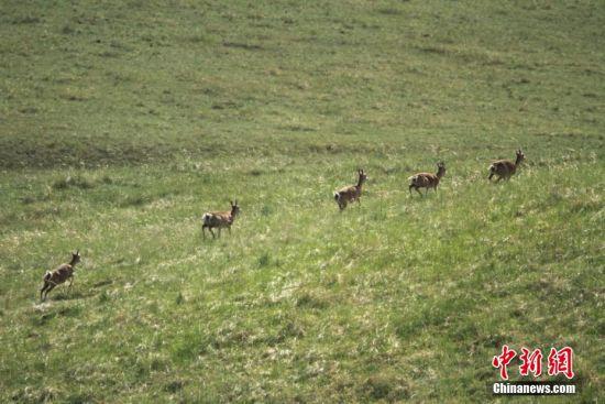 图为黄羊群在山丹马场草原上。 陈礼 摄