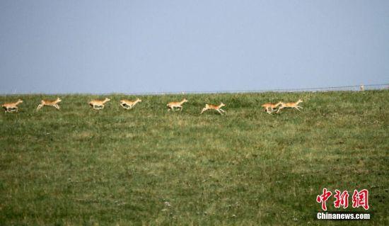 奔跑中的普氏原羚。 陈礼 摄