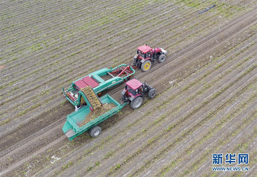 (经济)(1)河北滦南:壮大蔬菜产业 助力乡村振兴