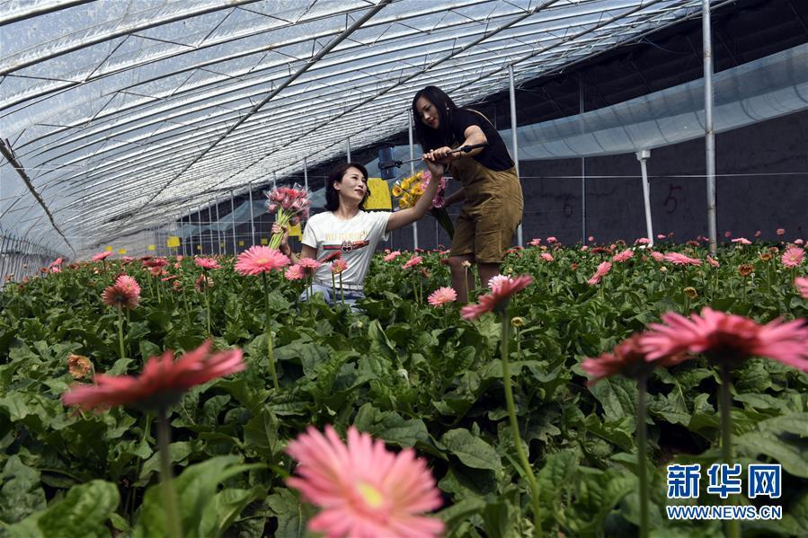 (新华网)(1) 鲜花种植助脱贫