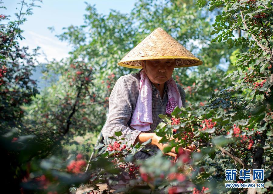 #(经济)(2)陕西潼关:抢收花椒忙