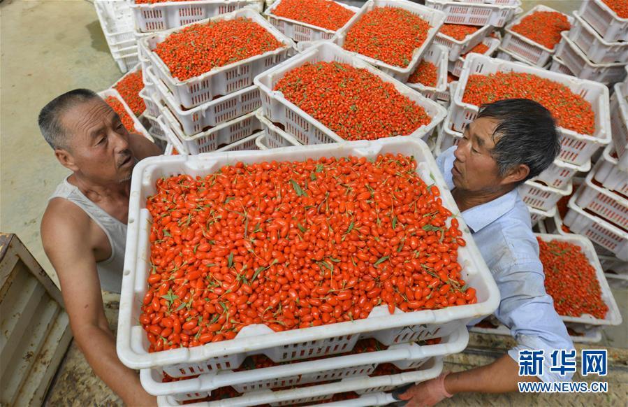 #(经济)(4)甘肃高台:戈壁滩上枸杞红