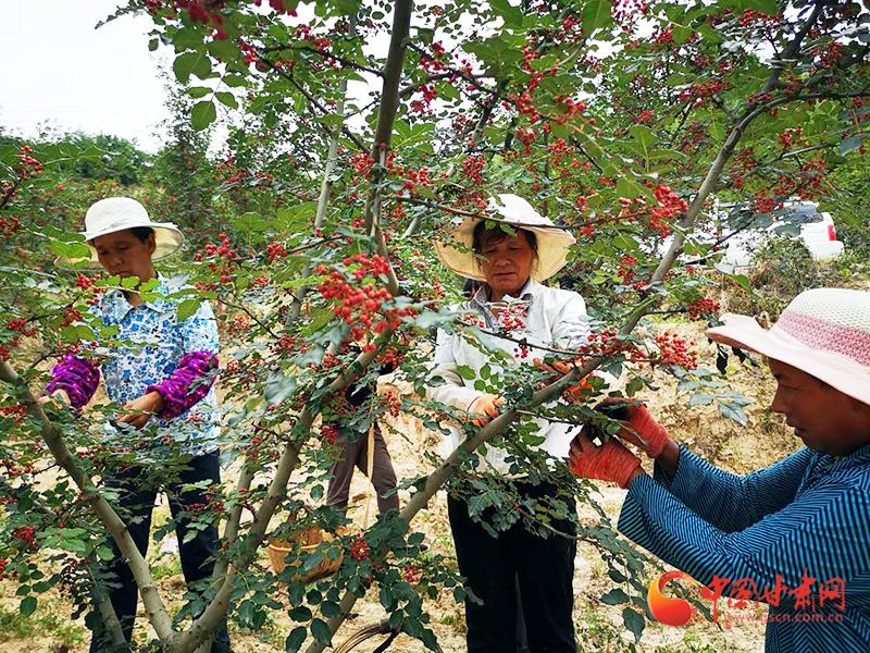 西和:万亩花椒喜获丰收