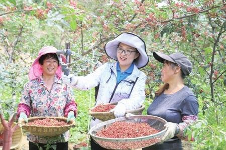 陇南武都:百万亩花椒丰收 直播销售助农增收