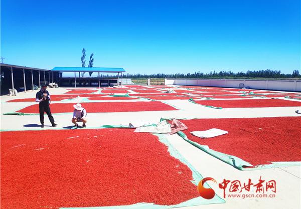 【跟着总书记看甘肃】瓜州县:枸杞红了!销量火了