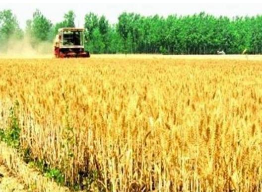 甘肃省小麦收获面积接近七成夏粮丰产丰收在望