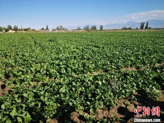 图为7月底,甘肃酒泉市肃州区总寨镇西店村土地上生长的尖叶菜心。 刘薛梅 摄