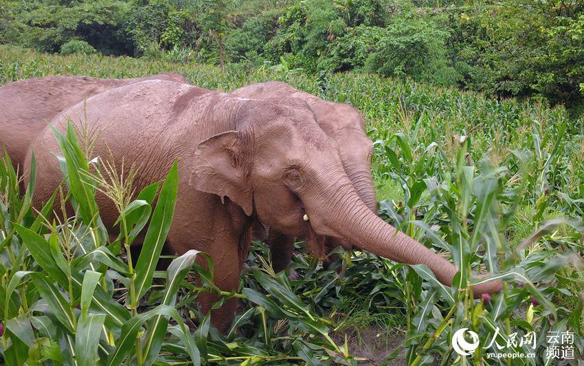 几头亚洲象正在吃老百姓种植的玉米(思茅区林草局 供图)