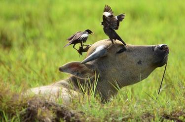 水牛与飞鸟