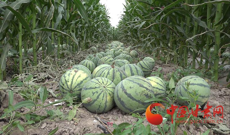 高台罗城镇:3300亩制种西瓜喜获