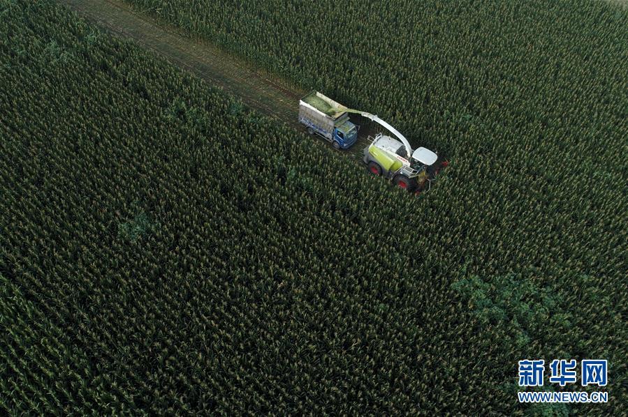 (经济)(2)河北滦南:收获青贮玉米