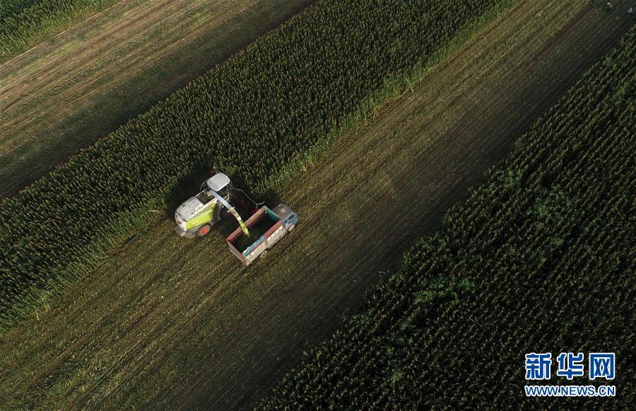 (经济)(3)河北滦南:收获青贮玉米