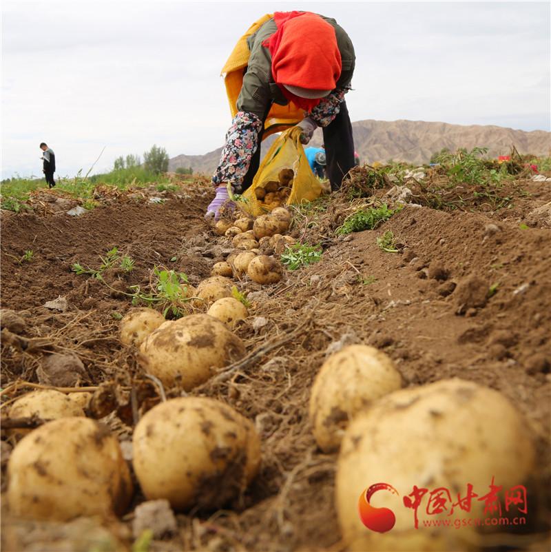 山丹:13.47万亩优质马铃薯进入收获季(组图)